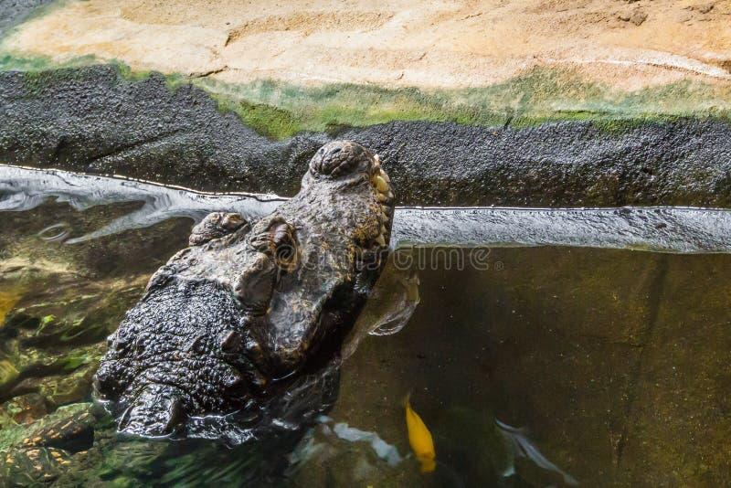 Crocodilo perigoso que coloca na cabeça animal do retrato da água no close up imagens de stock royalty free
