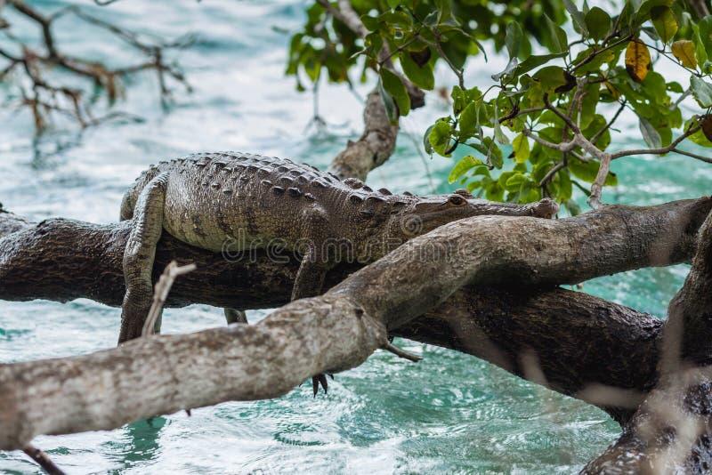 Crocodilo preguiçoso na lagoa de Bacalar imagens de stock