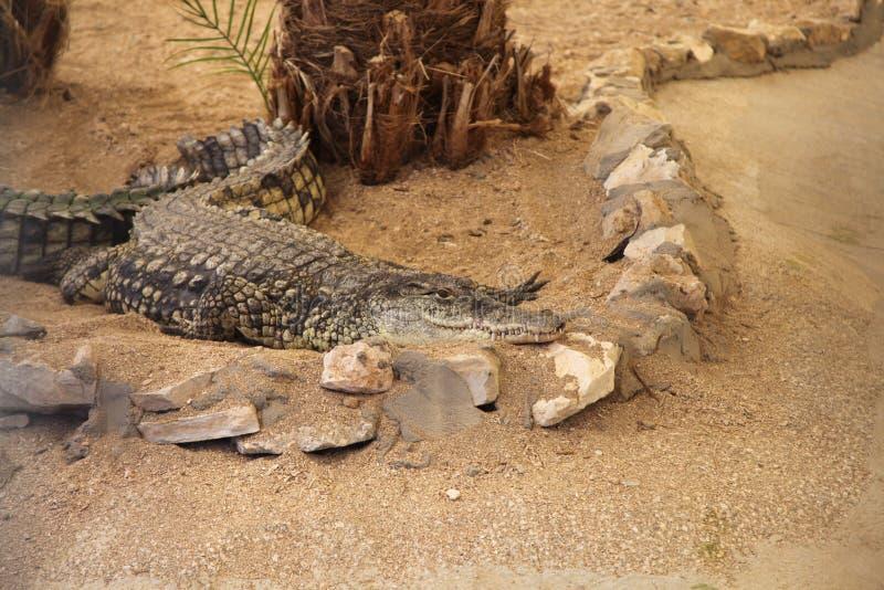 Crocodilo que encontra-se na areia foto de stock