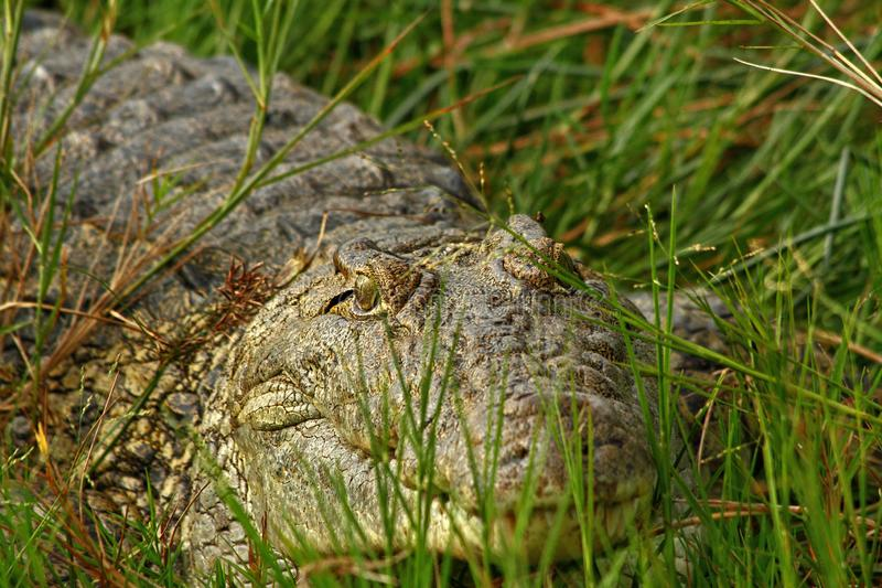 Crocodilo que esconde na grama fotos de stock