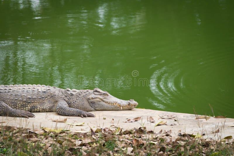 Crocodilo que toma sol no sol perto do rio foto de stock