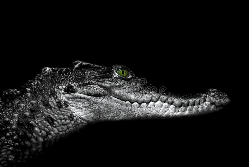 Crocodilo: retrato em um preto imagem de stock royalty free