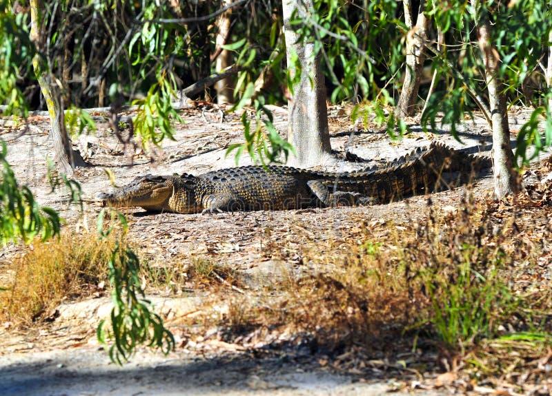 Crocodilo selvagem do saltwater, queensland, Austrália fotografia de stock