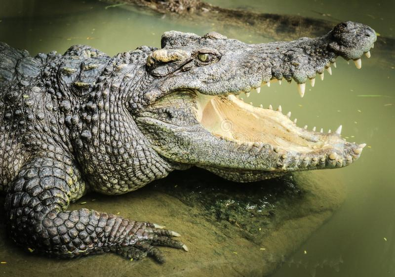 crocodilos fotos de stock royalty free