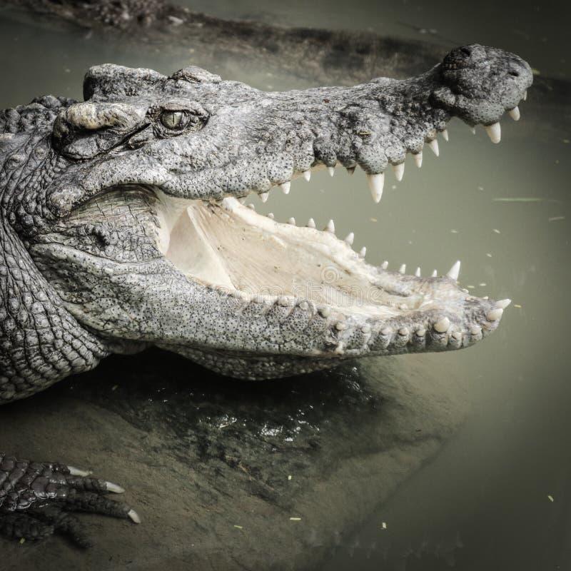 crocodilos fotografia de stock royalty free