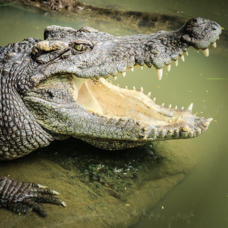 crocodilos fotografia de stock