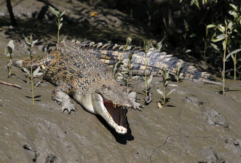 Crocodilos da água de sal fotografia de stock royalty free
