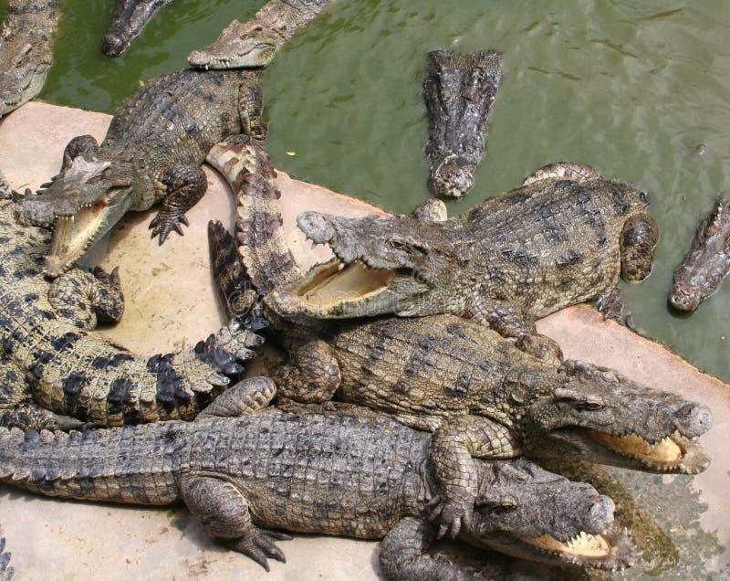 Crocodilos em uma exploração agrícola, Tailândia Pattaya imagem de stock