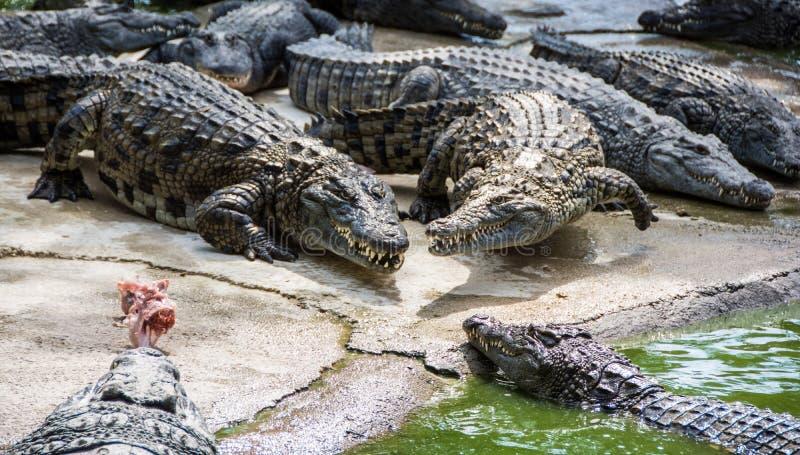 Crocodilos múltiplos que lutam pelo alimento fotos de stock royalty free