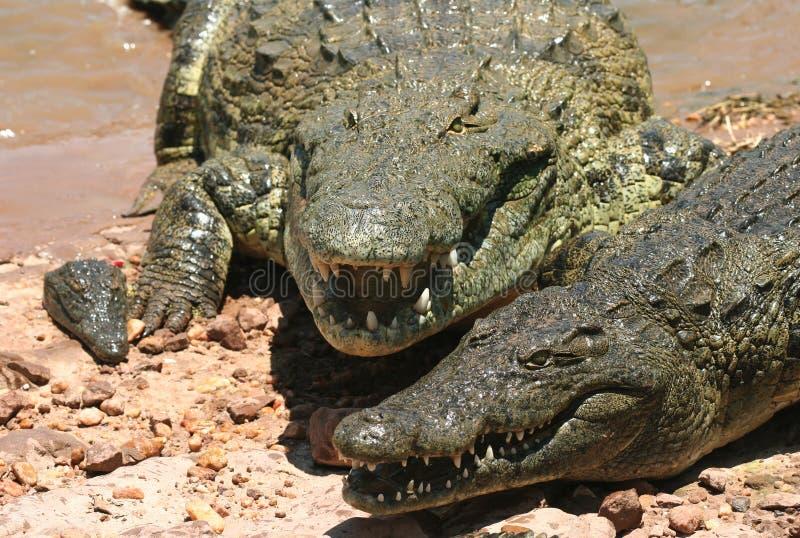 Crocodilos perigosos imagem de stock royalty free