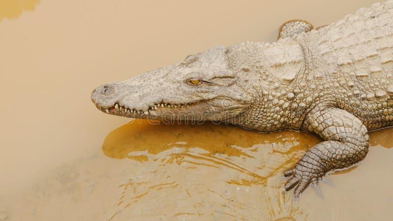 Crocodilos que descansam na exploração agrícola do crocodilo em Vietname fotografia de stock