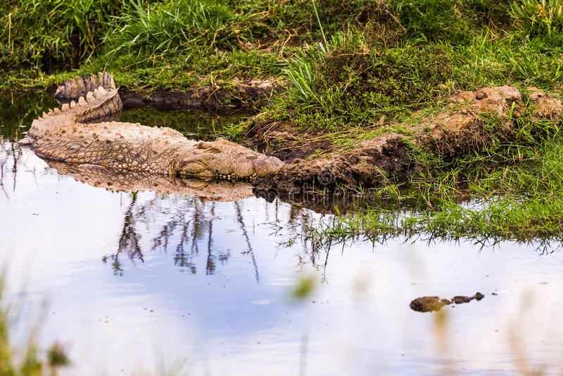 Crocodils в Serengeti стоковое изображение rf