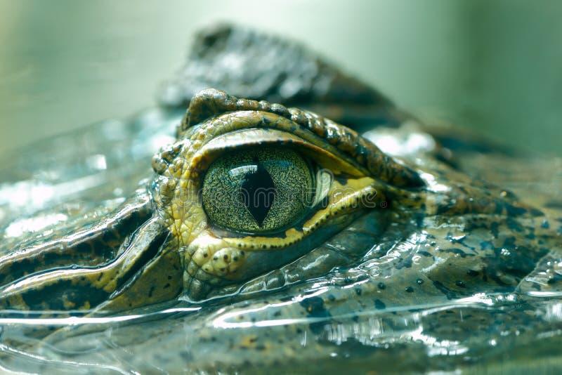 Crocodilus 6 do caimão imagem de stock royalty free