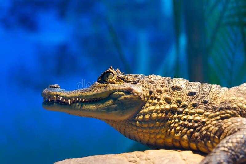 Crocodilus 13 do caimão imagem de stock royalty free