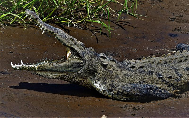 Crocodlie Portrait: Showing a full set of lethal pearly white teeth!. Taken to capture the wide open jaws of a crocodile, sunning itself on the shore, inside the stock photos