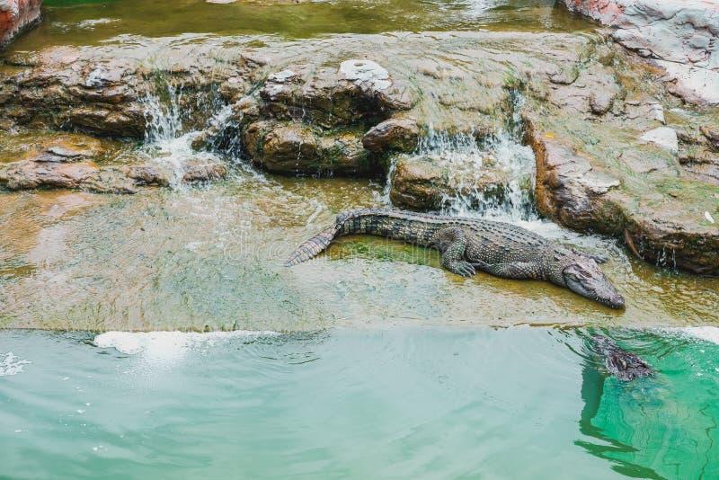 Crocodylidae del coccodrillo asiatico che che dorme immagini stock