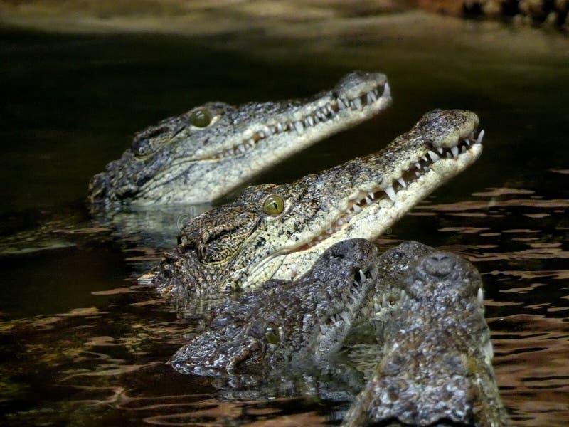 Crocodylus niloticus del coccodrillo di Nilo, crocodles che guardano dall'acqua che aspetta per alimentarsi fotografie stock