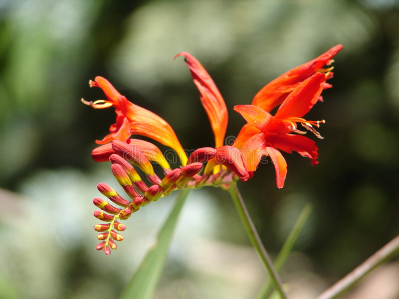Crocosmia « Lucifer » photos stock
