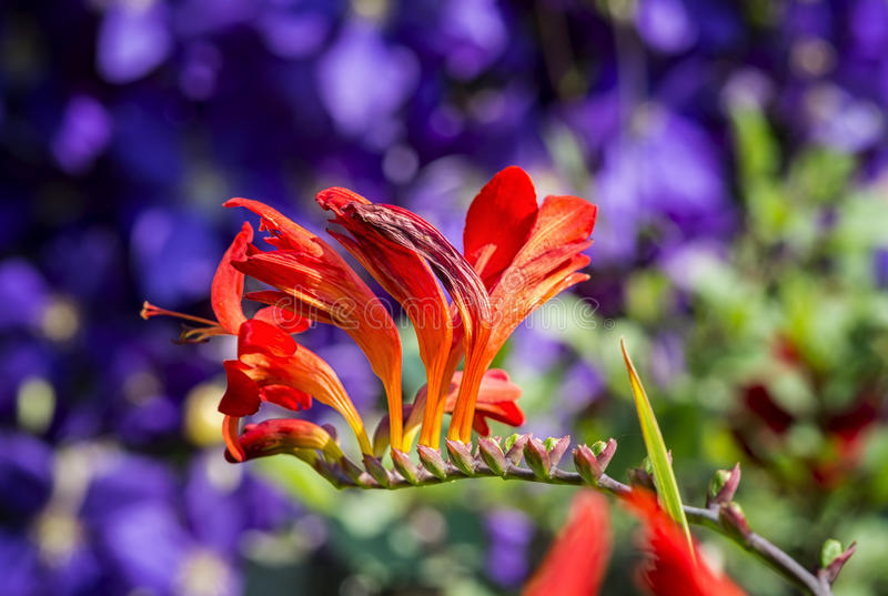 Crocosmia blomma royaltyfri bild