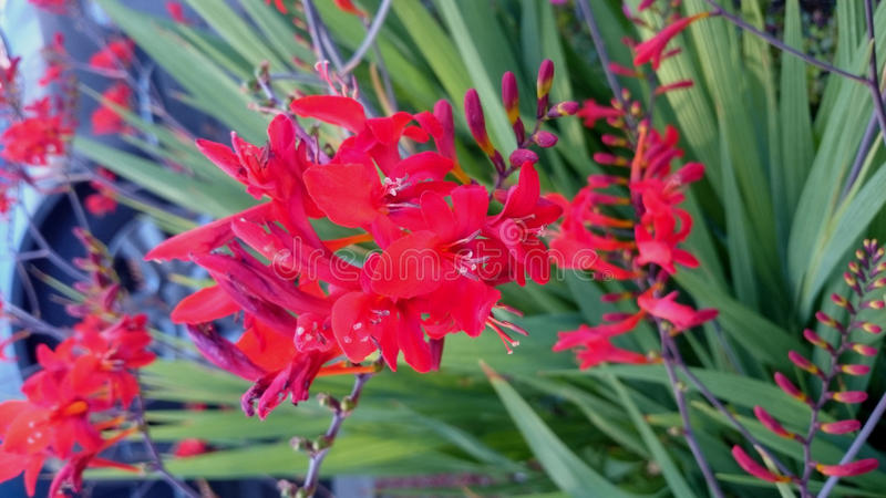 Crocosmia crocosmiflora, Montbretia. Perennial herb with narrow Gladiolus like leaves but smaller golden orange flowers on zigzag stems stock photos