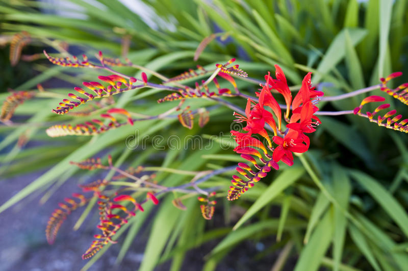 Download Crocosmia flower stock photo. Image of blossom, closeup - 20139624