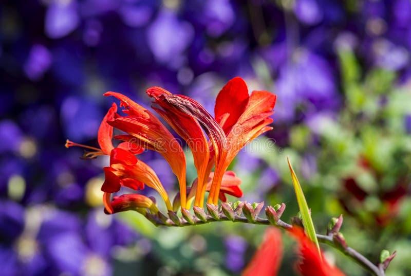 Crocosmia kwiat obraz royalty free