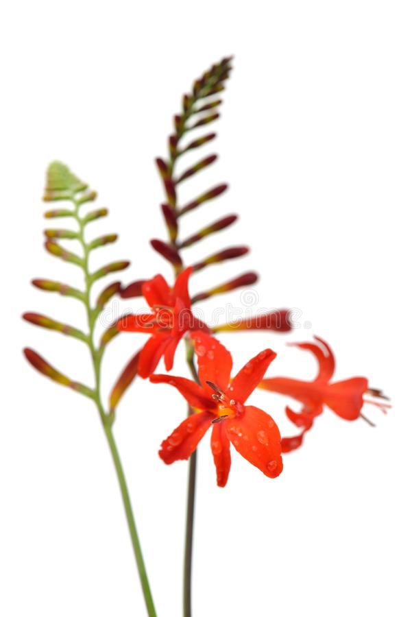 Crocosmia Lucifer image stock