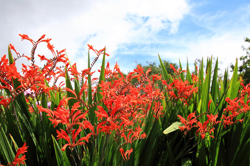 Crocosmia « Lucifer » images libres de droits