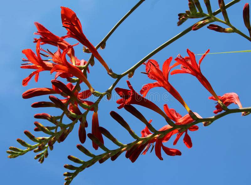 Crocosmia `Lucifer` stock photo