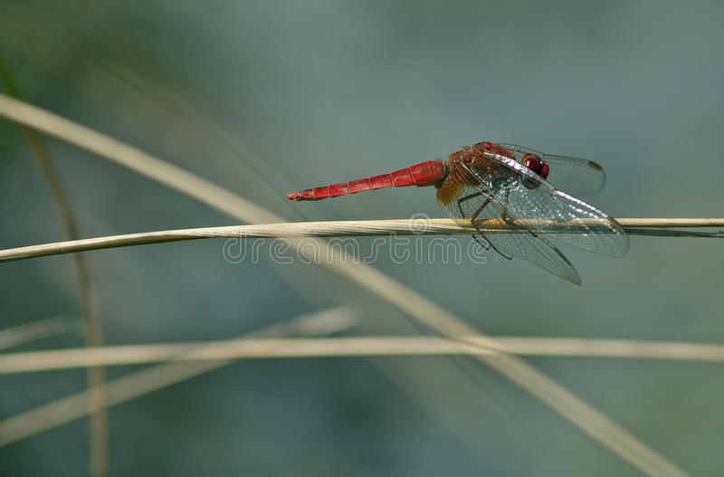 Download Crocothemis Erythraea - Scarlet Dragonfly (male) Stock Photo - Image: 29001768