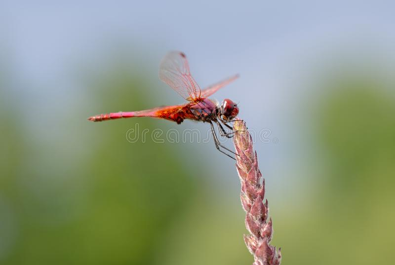 Crocothemis erythraea is a species of dragonfly in the family Libellulidae aka broad scarlet, common scarlet-darter royalty free stock images