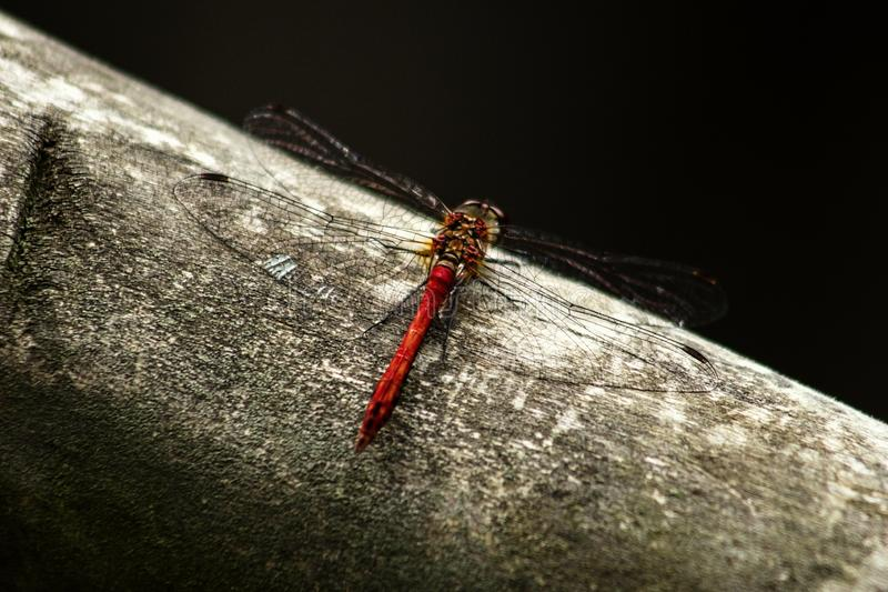Scarlet dragonfly / male / SITES ON A WOODEN rod. royalty free stock photos