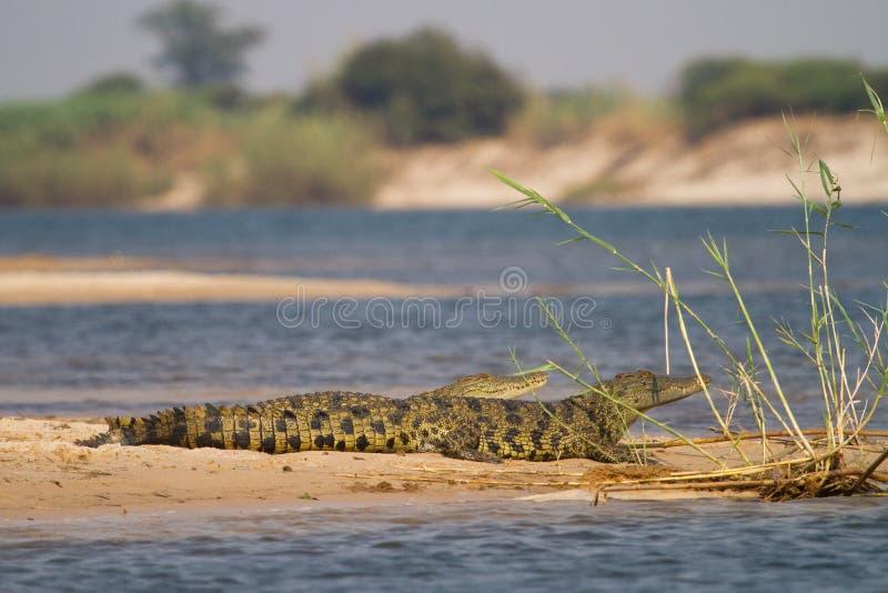 Crocs Caprivi стоковое фото rf