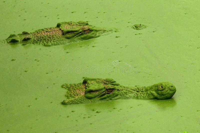 Crocs en modo de la cautela imagen de archivo