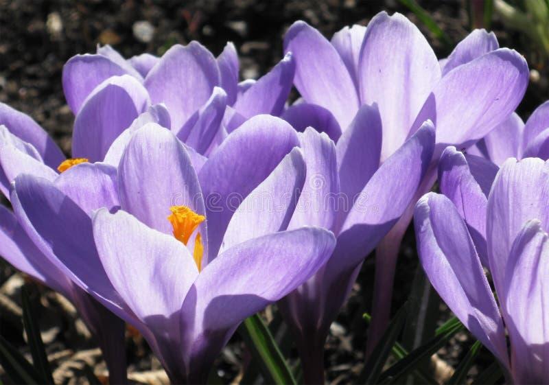 Download Crocus stock photo. Image of meadow, flower, closeup - 13914884