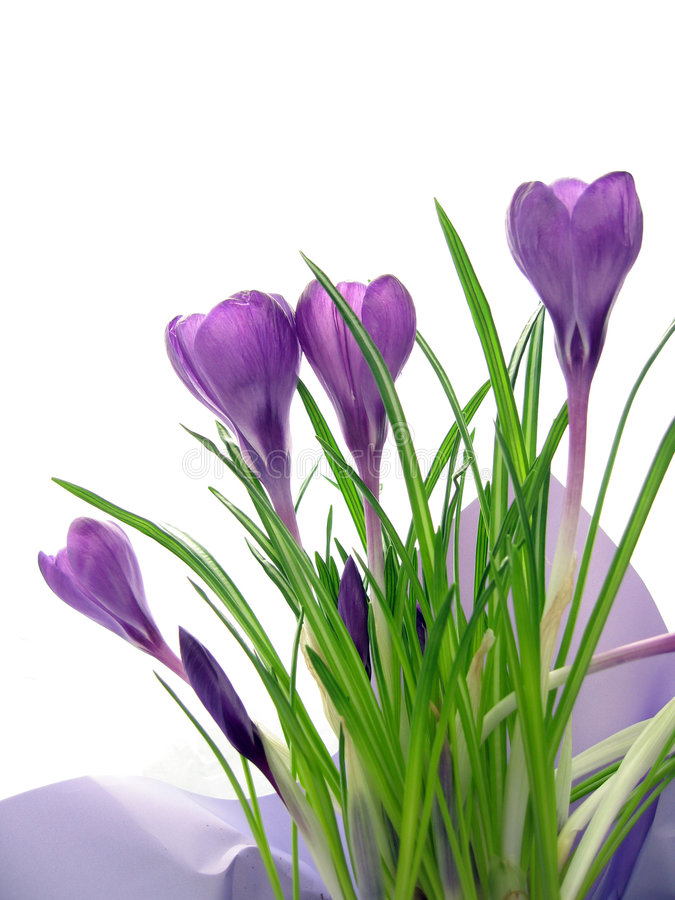 Crocus. Purple crocus virtical layout with leaves stock photography