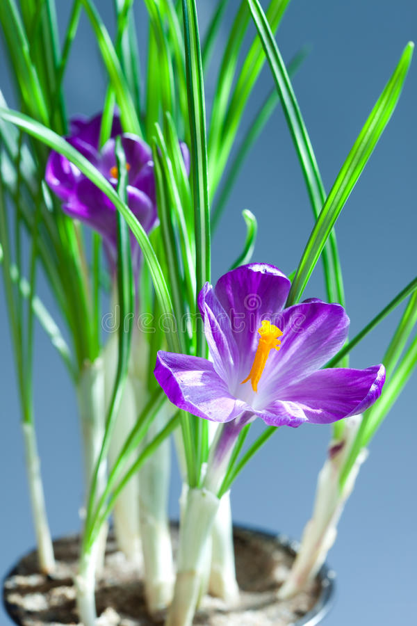 Download Crocus stock image. Image of spring, beauty, natural - 23105799