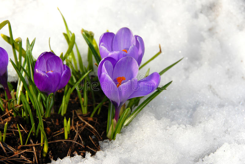 Download Crocus stock image. Image of floral, lilac, blooming - 23664037