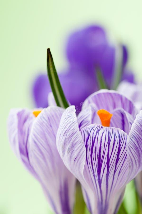 Download Crocus stock image. Image of crocus, blossom, nature - 23872967