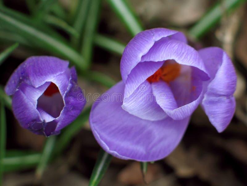 Download Crocus stock photo. Image of beautiful, gardening, floral - 504914