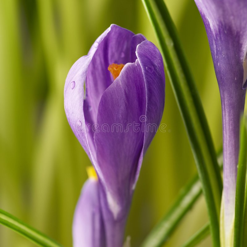 Download Crocus stock photo. Image of purple, nature, detail, flowers - 8611738