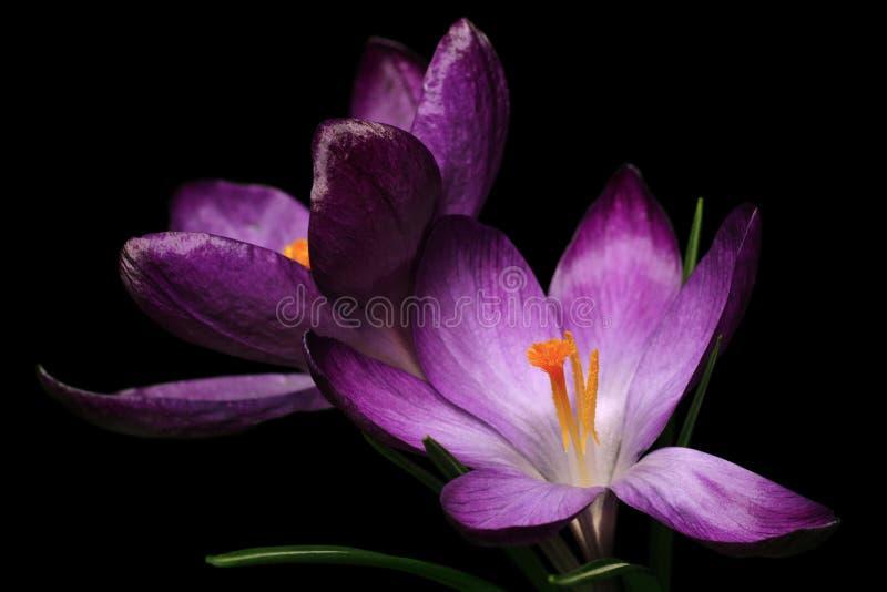 Download Crocus stock image. Image of purple, saffron, isolated - 8613361