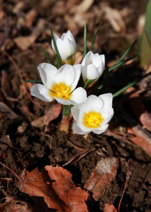 Welcome spring! Crocus. Rock plants in April. Flowers close-up. royalty free stock photos