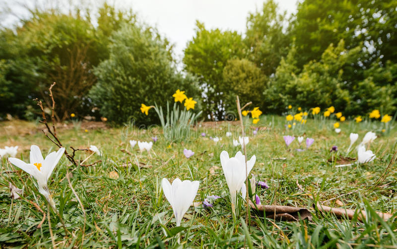 Crocus in Bloom in the city of Bath, United Kingdom. French vibrant spring field with Crocus Crocus longiflorus flowers in bloom - view from bellow in public stock images