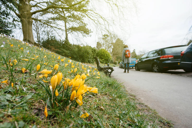 Crocus in Bloom in the city of Bath, United Kingdom. French vibrant spring field with Crocus Crocus longiflorus flowers in bloom - view from bellow in public stock photo