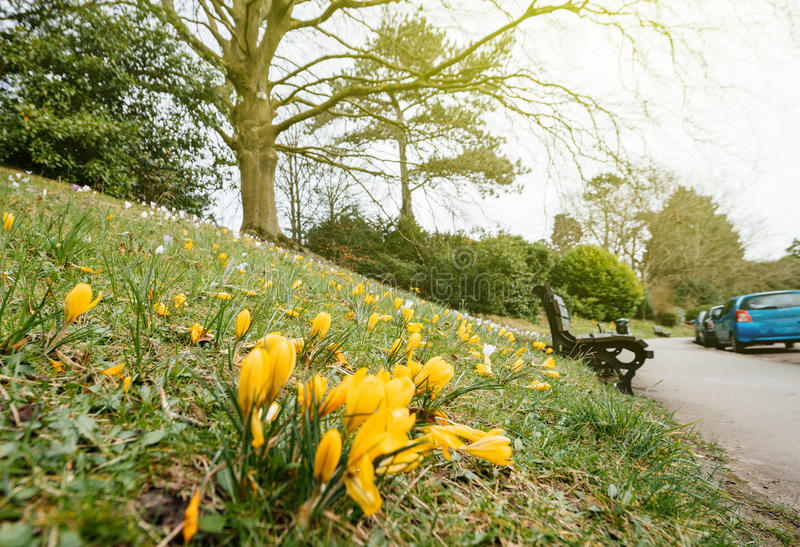 Crocus in Bloom in the city of Bath, United Kingdom. French vibrant spring field with Crocus Crocus longiflorus flowers in bloom - view from bellow in public royalty free stock photo