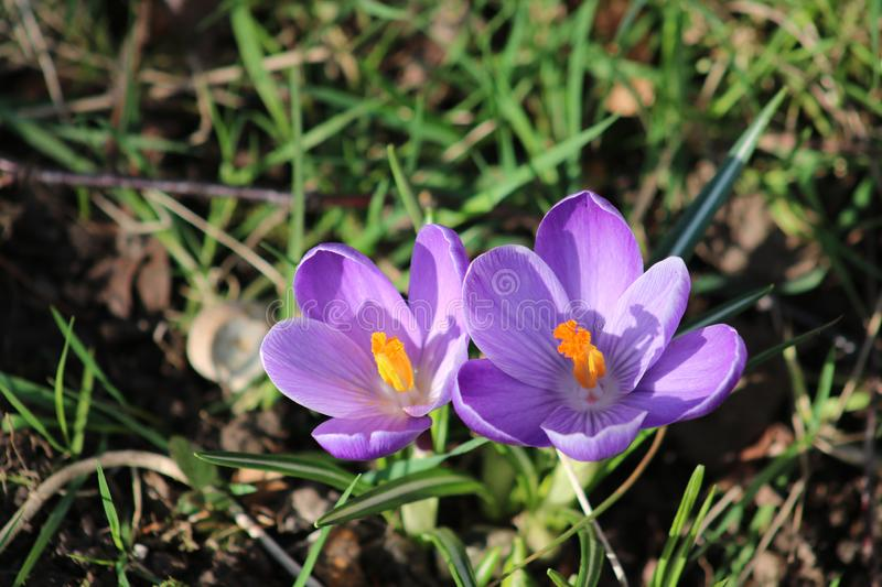 Crocus in bloom, purple petals and yellow stamens. Close up of two purple crocuses with yellow stamens in bloom in a grassy area in late February stock images