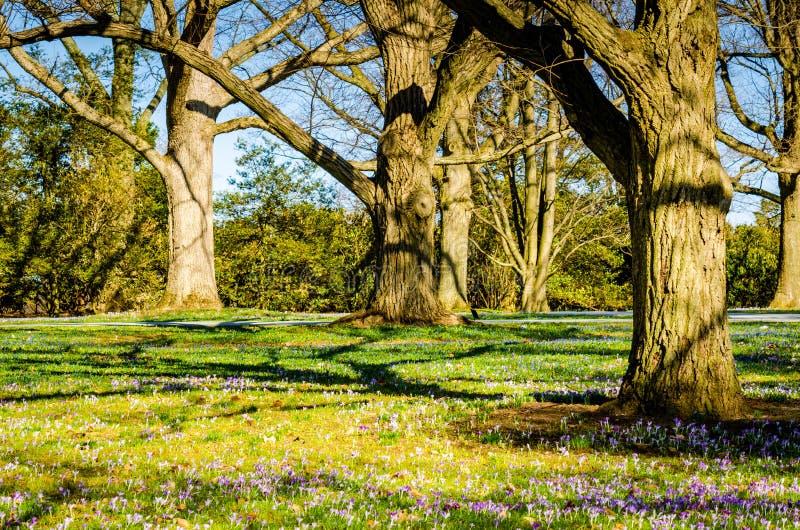 Crocus Blossoms - Longwood Gardens - PA. Field of purple crocus & x28;crocus sativus& x29; flowers, early spring blossoms, under oak trees at Longwood Gardens royalty free stock photography