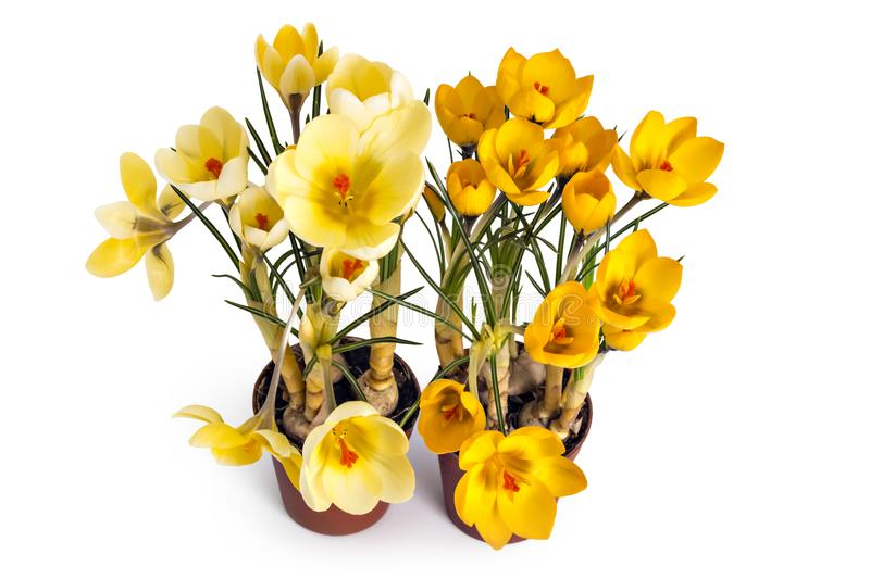 Crocus blossoms and seedlings stock photo
