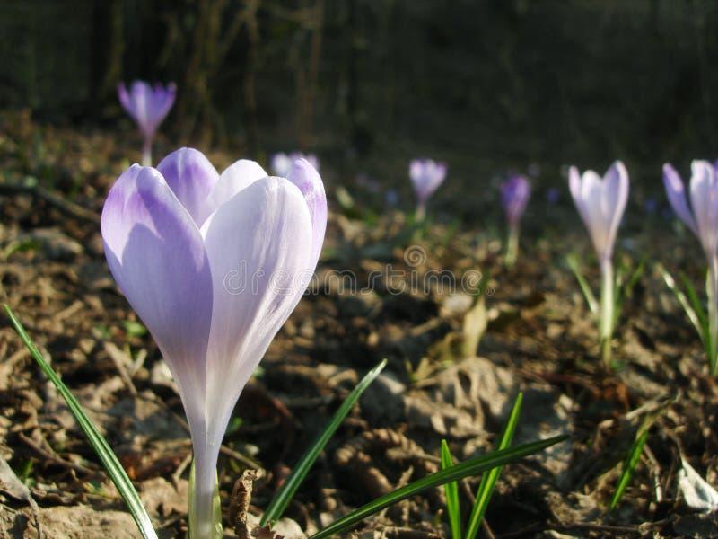 Crocus de floraison ou fleurs ensoleillées de safran sur la clairière ensoleillée photos stock